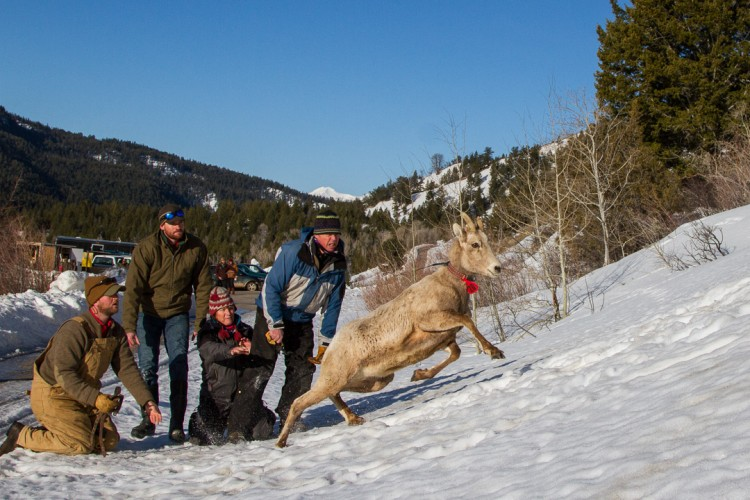 Researchers release a bighorn ewe in the Gros Ventre Mountains near Jackson Hole.