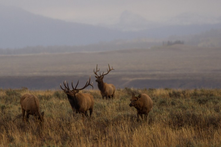 Bull elk in rut, Grand Teton National Park