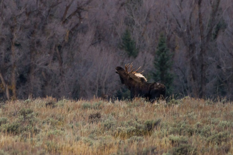 Rutting Bull Moose observed on a wildlife tour of Grand Teton National Park.