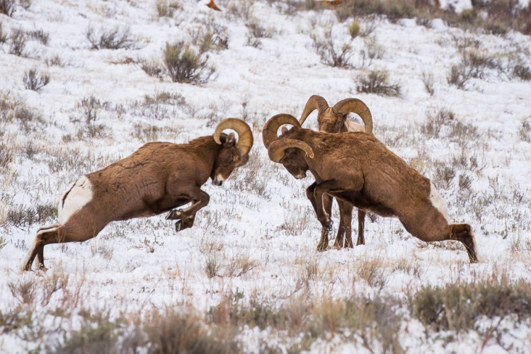 Bighorn Sheep Butt Heads on the National Elk Refuge near Jackson, WY.