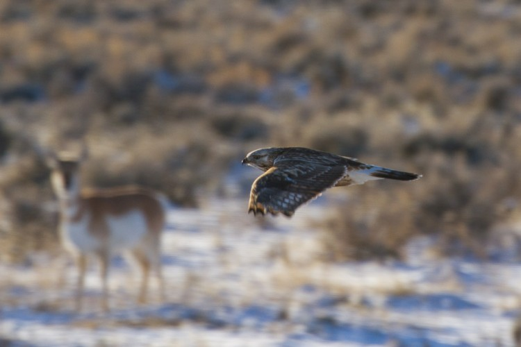 Rough Legged Hawks Migrate through the Jackson Hole Valley in Winter from the Arctic Circle!