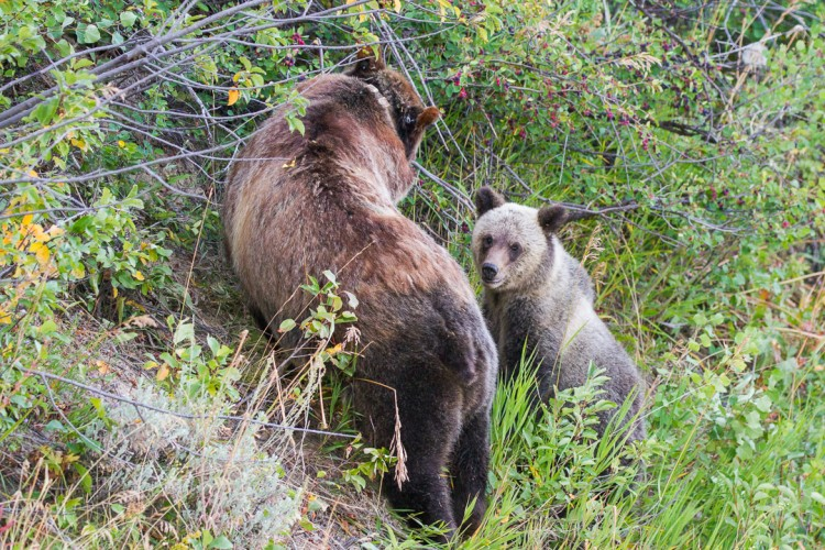 A grizzly sow and cubs feed on service berries in Grand Teton National Park.
