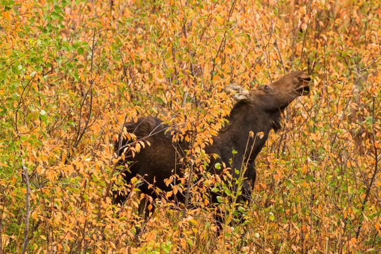 Cow Moose, Grand Teton National Park
