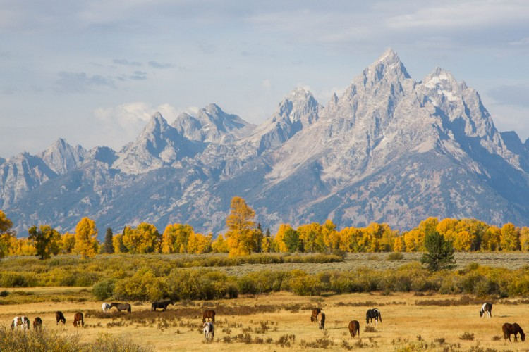 Horses beneath the Teton Range in Fall.
