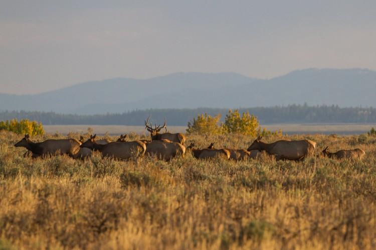 Jackson Hole Ecotour Wildlife Adventures Elk Wapiti