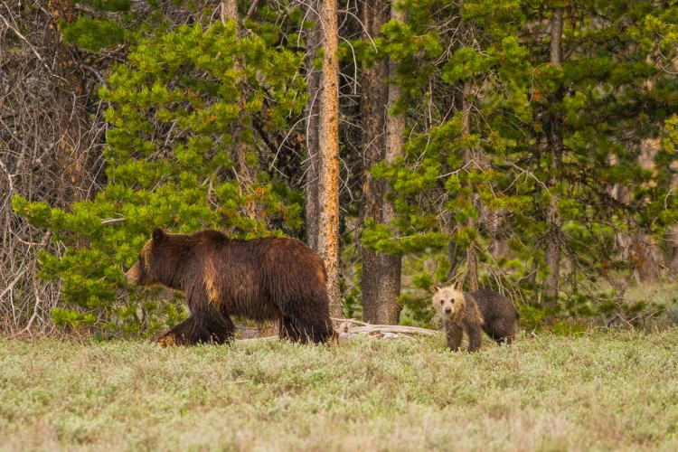 Grizzly cub in Grand Teton National Park