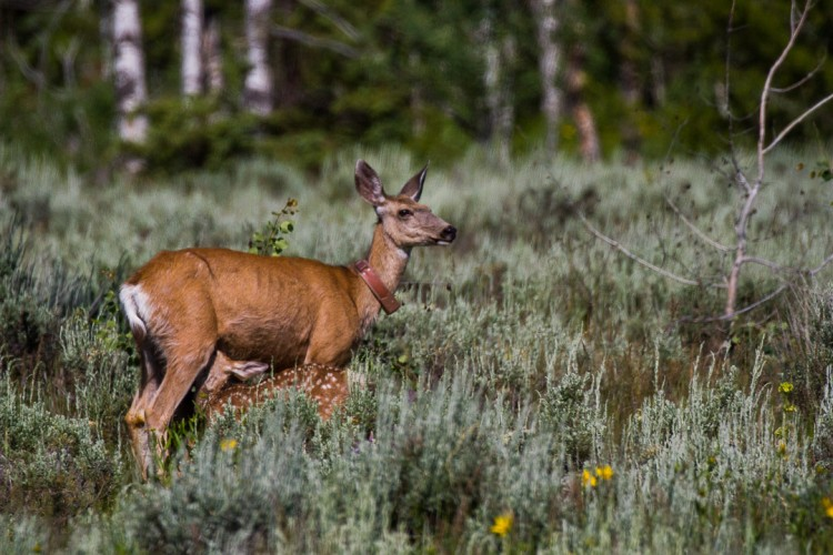 Mule Deer Doe and Fawns in Grand Teton National Park