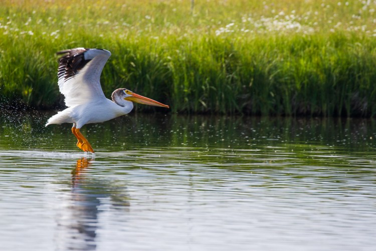 American White Pelicans nest in the Greater Yellowstone Ecosystem in summer.