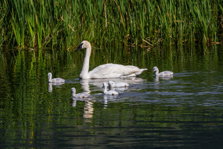 Trumpeter Swans in Jackson Hole