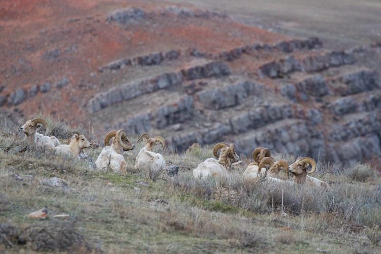 Bighorn rams on the National Elk Refuge, Jackson Hole.