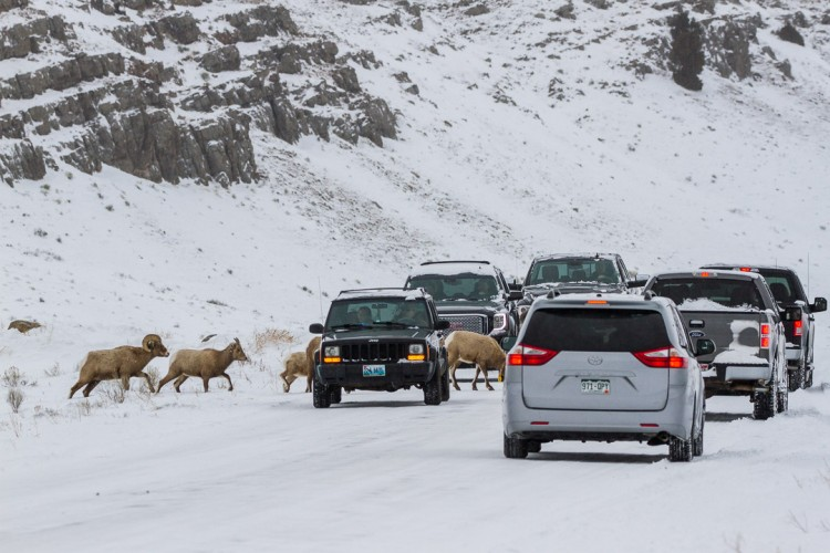 Bighorn Sheep, National Elk Refuge, Jackson Hole, Grand Teton National Park