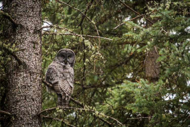 Great Gray Owl in Jackson Hole