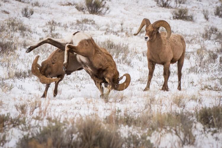Bighorn Sheep, Grand Teton National Park, Jackson Hole, National Elk Refuge.