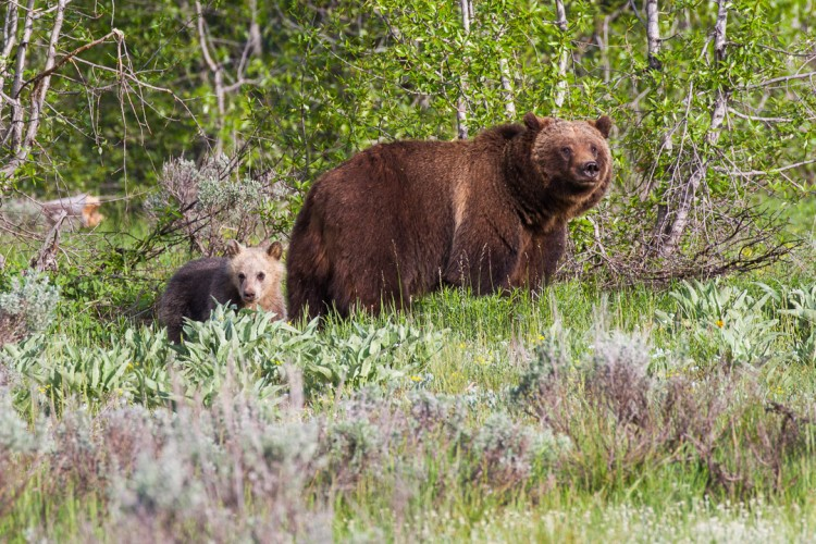 Grizzly bear with cub, Grand Teton National Park