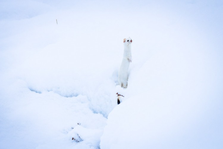 Ermine or Weasel in Yellowstone National Park on safari with Jackson Hole Ecotour Adventures