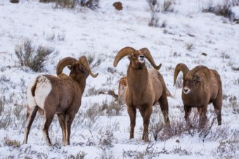 Experience the Winter Bighorn Rut