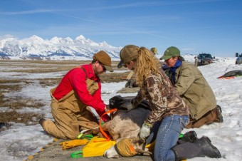Unlocking the Mysteries of Bighorn Health in Jackson Hole