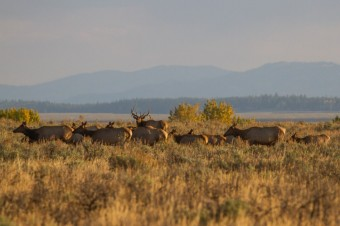 Species Profile: Elk