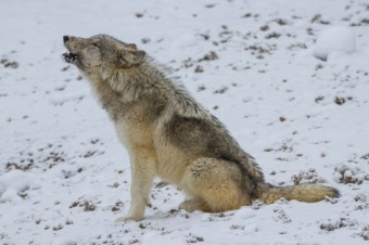 Finding the Wild Wolves of Yellowstone
