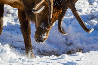 Jackson Hole Wildlife Log Early January 2017