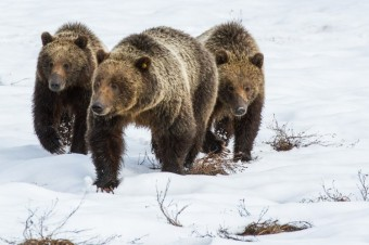 Living With Large Carnivores Part Two: Safety in Bear Country