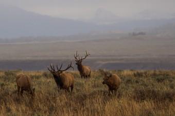Species Profile: Elk