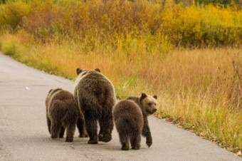 Living With Large Carnivores Part 1: Bear Identification