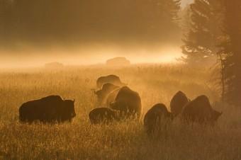 Species Profile : Bison