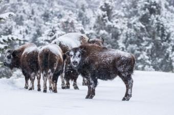 Winter Wonderland in Yellowstone National Park, an Unforgettable Multi-day