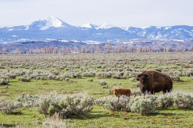 Bison Calf in Grand Teton National Park