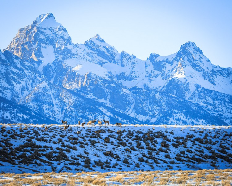 Elk in Grand Teton National Park, Jackson Hole Wyoming.