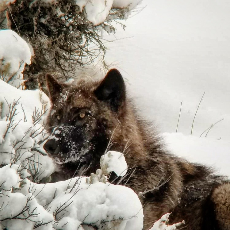Wolf in Grand Teton National Park, Jackson Hole, Wyoming.