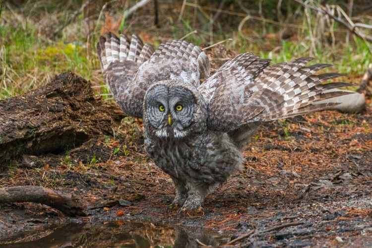 Great Gray Owl in Grand Teton National Park. Photo: Josh Metten