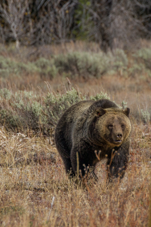 Grizzly in northern Grand Teton National Park.
