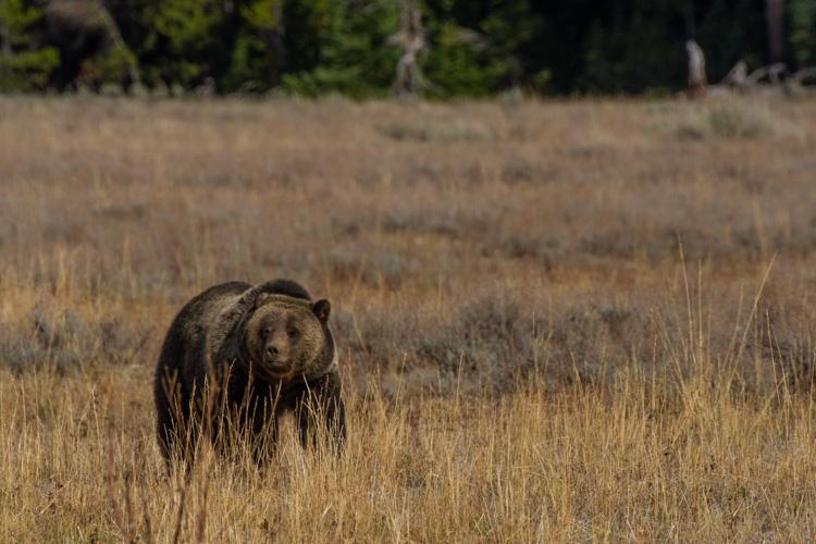 Jackson Hole Ecotour Wildlife Adventures Fall Multi Day