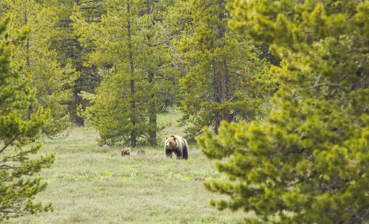 Grizzly Bear and Cubs, Grand Teton National Park.