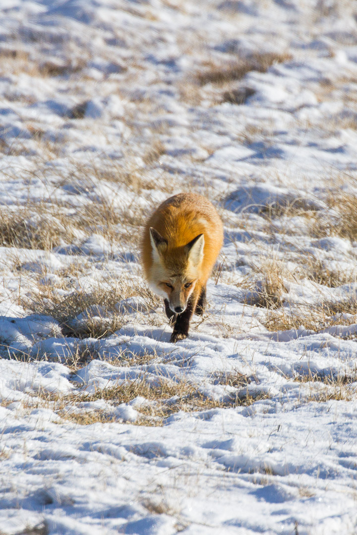 Red Fox in Grand Teton National Park