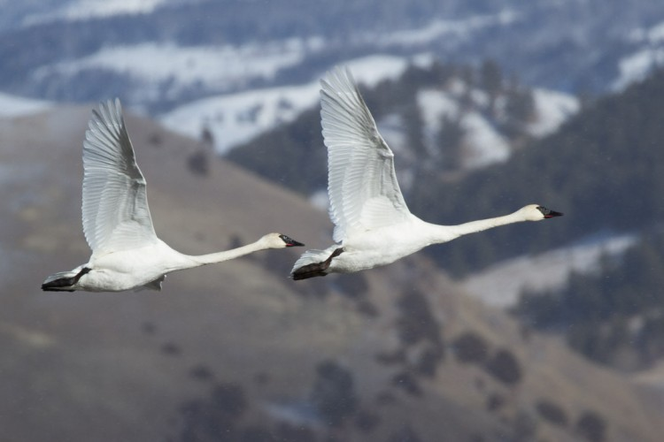 Trumpeter Swans on the National Elk Refuge, Jackson, WY.