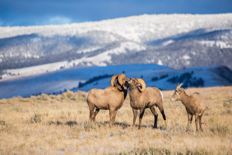 Bighorn Sheep Rams on the National Elk Refuge in Jackson Hole